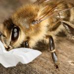 Biene mit Taschentuch