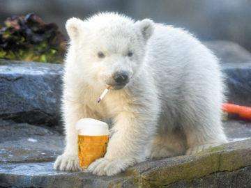 Eisbären-Baby mit Zigarette und Bier