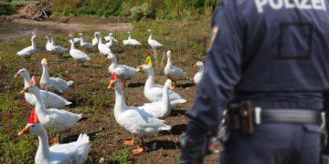 Gänse flüchten vor Polizei
