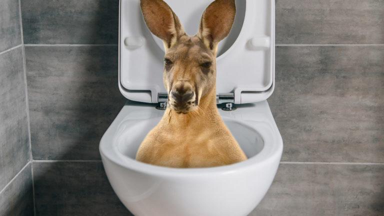 Känguru schaut aus Klo